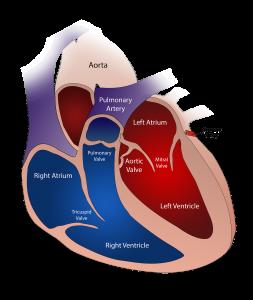 Valvole-cardiache